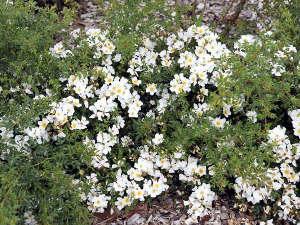 Rosas tapizantes 2