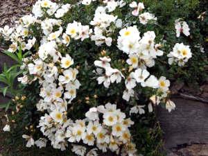 Rosas tapizantes 3