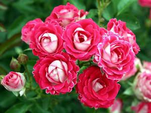 Rosas tapizantes 4