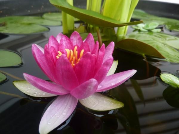 Plantas flotantes en una maceta 3