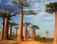 imagen Cómo cultivar un baobab