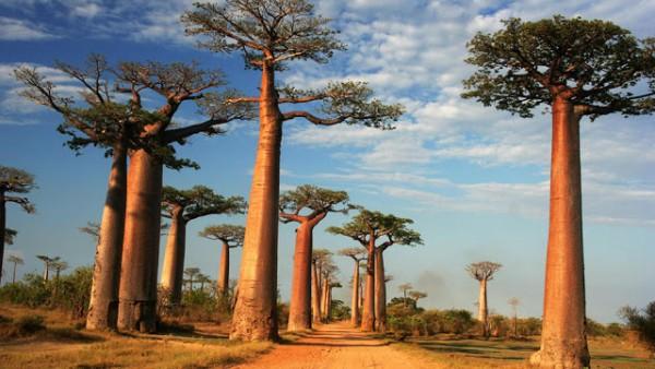 Cultivar un baobab 1