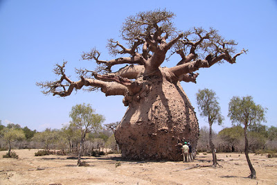 Cultivar un baobab 5