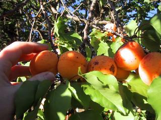 Momento para la recolección de frutas 1