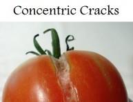 imagen El agrietado o craking del tomate
