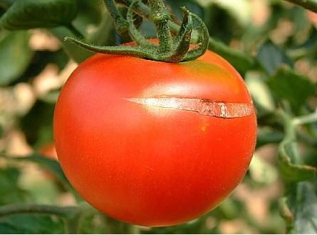 Agrietado o craking del tomate 1