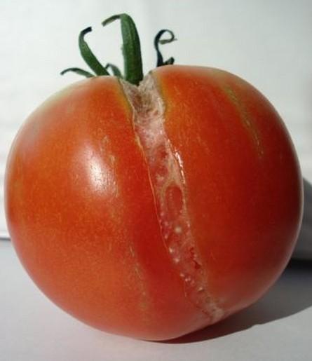Agrietado o craking del tomate 2