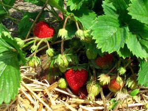 Uso de la paja agrícola en el jardín 4