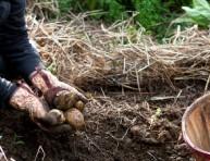 imagen El uso de la paja agrícola en el jardín