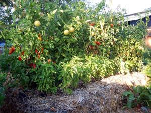 Uso de la paja agrícola en el jardín 6
