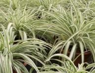 imagen La cinta, una planta elegante y fácil de cultivar