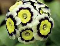 imagen La prímula aurícula, una flor con historia