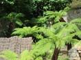 imagen El helecho arborescente australiano