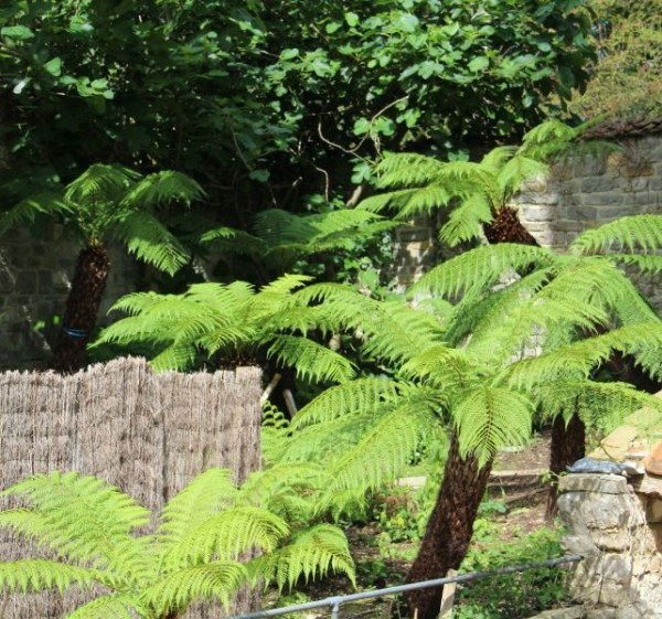 Helecho arborescente australiano 1