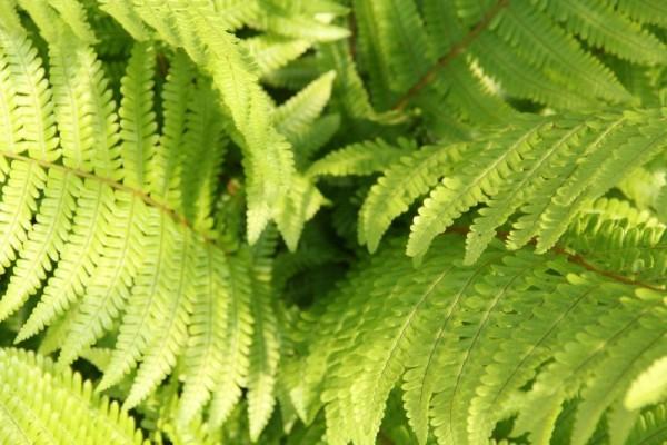 Helecho arborescente australiano 2