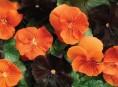 imagen Flores negras en el jardín
