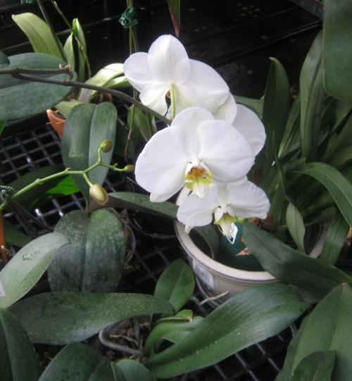 Cultivo de orquídeas 1