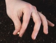 imagen Reproducción de catalpa por semillas