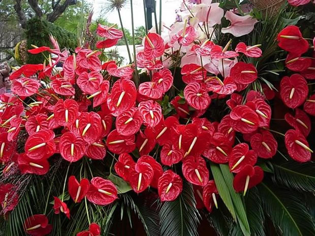 El anturio y sus colores for Matas de jardin