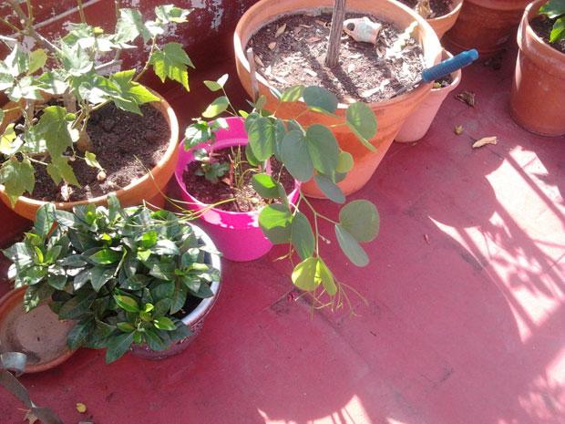 bauhina variegata