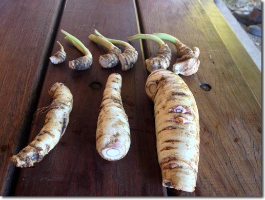 Cultivar la arracacha 1