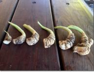 imagen Cultivo de la arracacha en el huerto