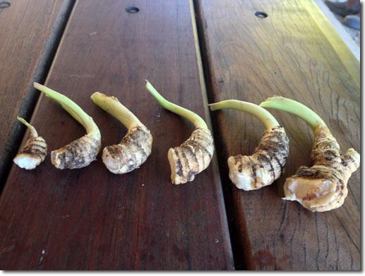 Cultivar la arracacha 3