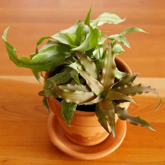 bromelia-cryptanthus-bivittatus