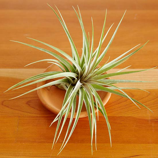 tillandsia-stricta