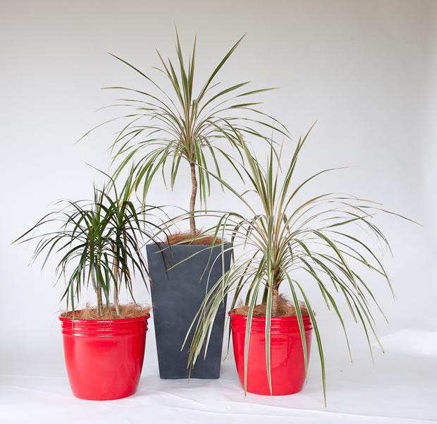 plantas abigarradas