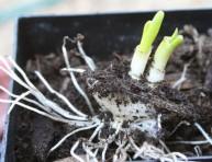 imagen Cómo cultivar cebollas en casa