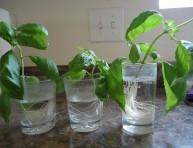 imagen Cómo cultivar la albahaca que has comprado