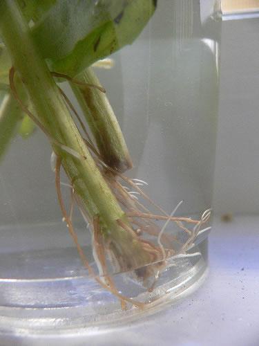 Cultivar albahaca 2