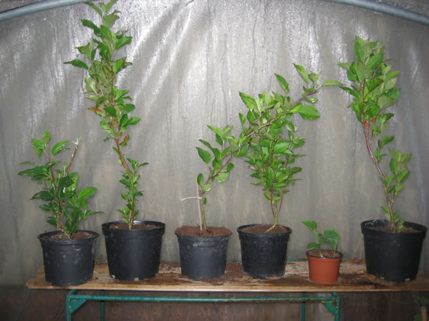 Cultivar manzano 7