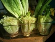 imagen Cultiva lechuga romana desde sus desechos