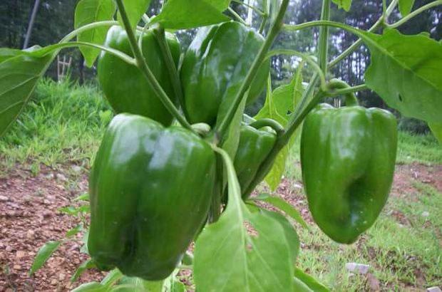 Cultivar pimientos 1