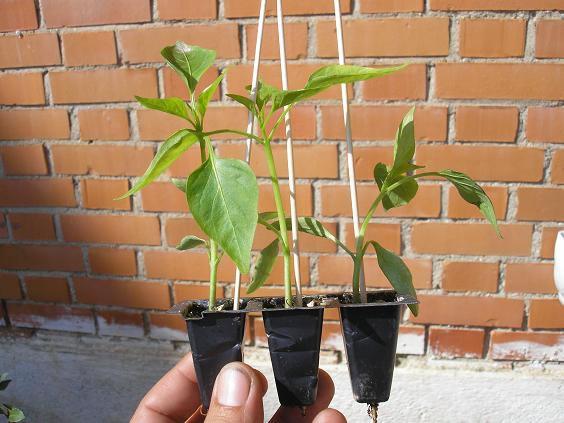 Cultivar pimientos 9