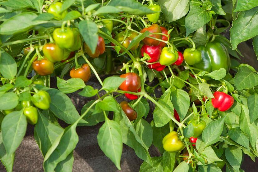 Cultiva tus propios pimientos en casa