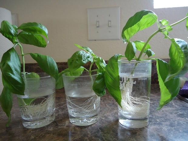 Cultivar la albahaca comprada