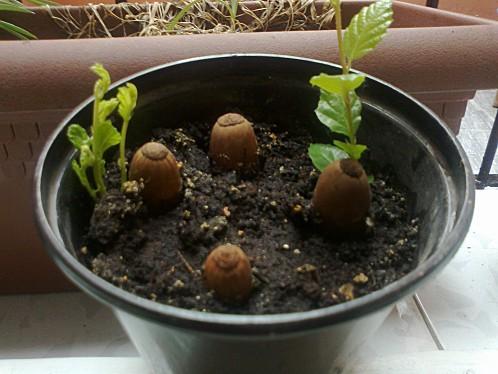 Cómo germinar bellotas