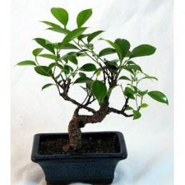 Cultivo del bonsai