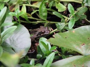 Atraer ranas y sapos