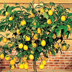 Cultivo limonero en maceta