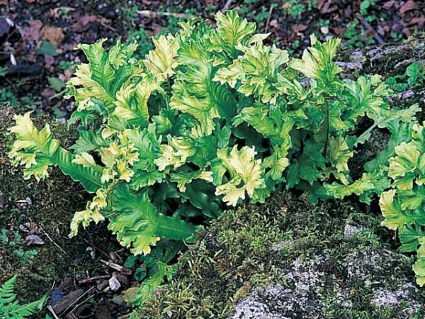 Phyllitis scolopendrium 'Cristatum'3