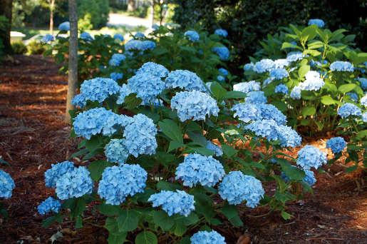 Hortensia france bleu