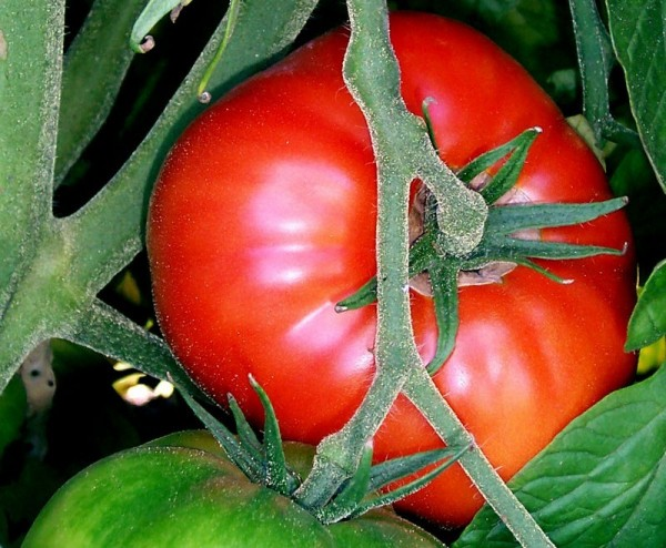 Guardar semillas de tomates