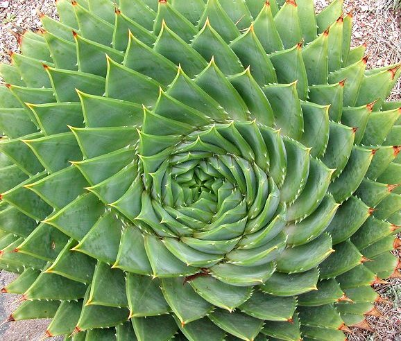 Aloe espiral