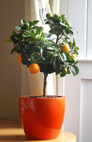 Cítricos como plantas de interior