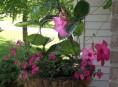 imagen Cultiva dipladenias en tu jardín