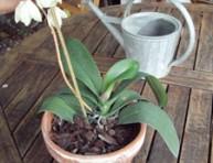 imagen Cómo conseguir una segunda floración de las orquídeas